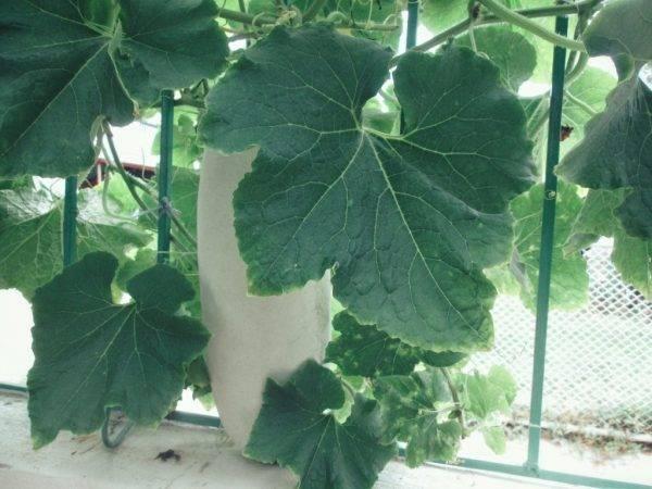 Чем подкормить огурцы при выращивании на подоконнике