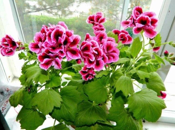 Королевская пеларгония уход и размножение в домашних условиях;