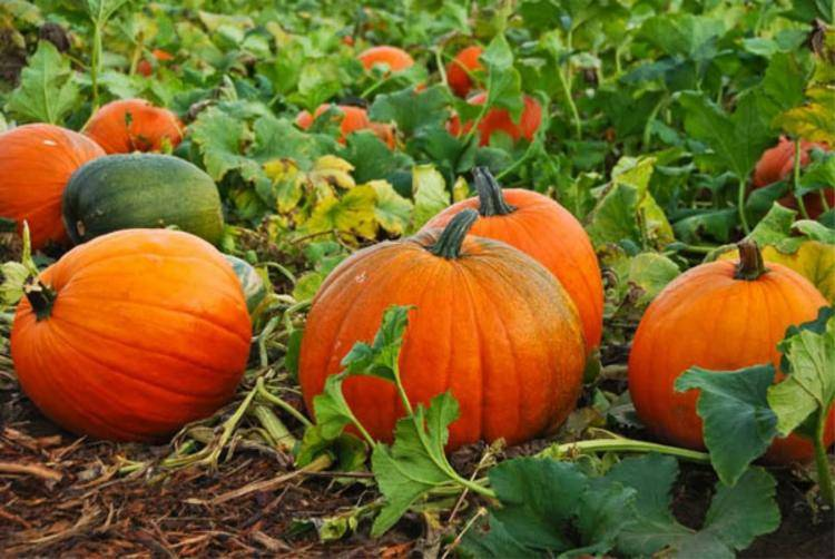 Когда сажать тыкву на рассаду: определяем благоприятное время