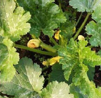 Почему у кабачков желтеют листья: основные причины, видео и фото