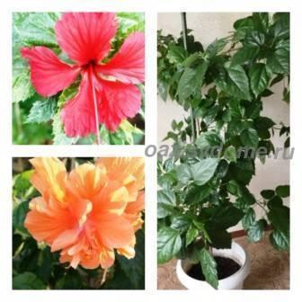 Гибискус: самые красивые сорта и все секреты выращивания от коллекционера анны капаниной
