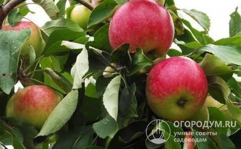 """Яблоня """"мельба"""": описание сорта, фото, отзывы"""