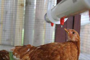 Как применять препарат лозеваль для голубей
