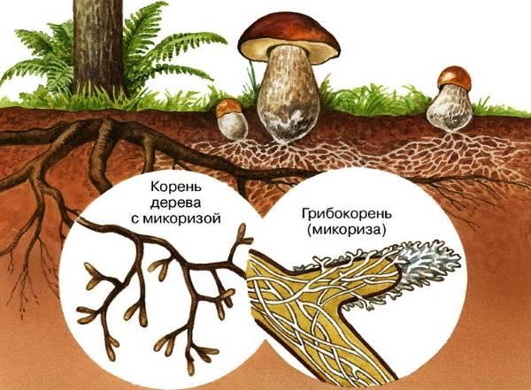 Как связана жизнь гриба и дерева или что такое грибной «интернет»?