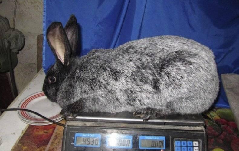 Кролики полтавское серебро: описание, характеристики