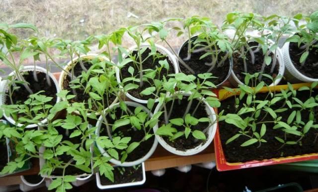 Удобрения для рассады томатов и перца: магазинные и домашние подкормки