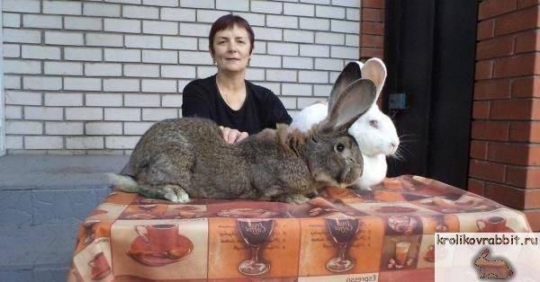 Кролики ризен — гиганты среди кроликов