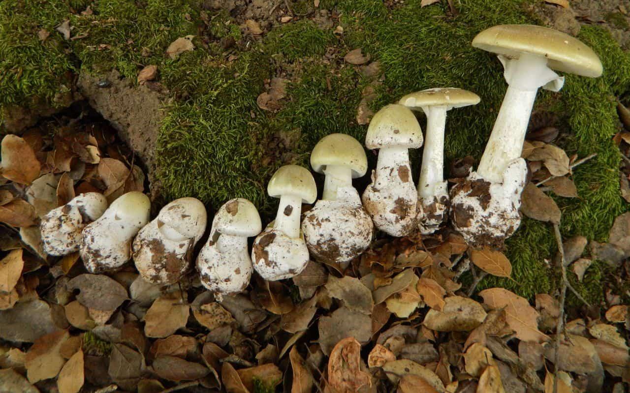 Ядовитые грибы