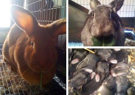 Когда крольчат отсаживать от крольчихи и чем кормить