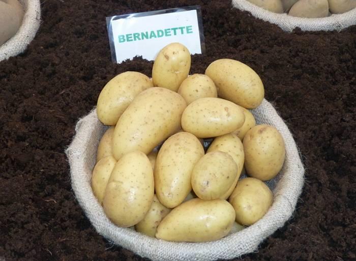 Картофель армада: характеристики сорта в таблице, сравнение, уход