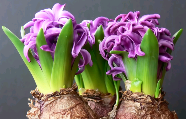Гиацинт: какой уход нужен после цветения. луковицы гиацинта после цветения – уход и содержание - секреты садоводов