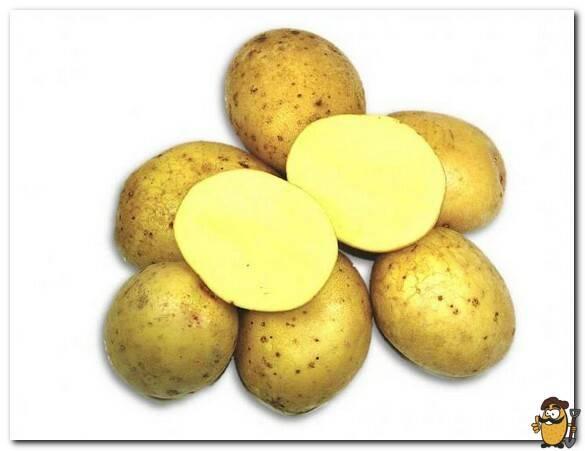 Сорт картофеля колобок: характеристика, описание с фото, отзывы