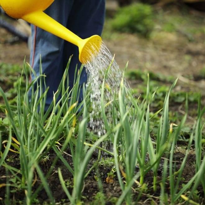 Подкормка весной чеснока, посаженного под зиму