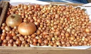 Обработка лука перед посадкой весной от болезней и вредителей, замачивание в солевом растворе, марганцовке