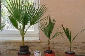 Пальма вашингтония: уход в домашних условиях пальма вашингтония: уход в домашних условиях