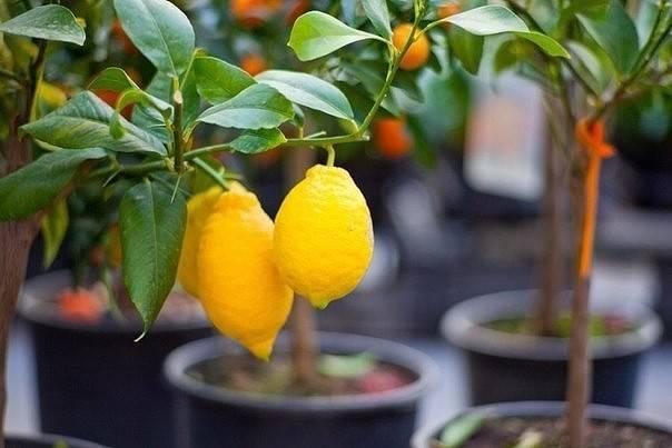 Как выращивать лимон дома из косточки без прививки?