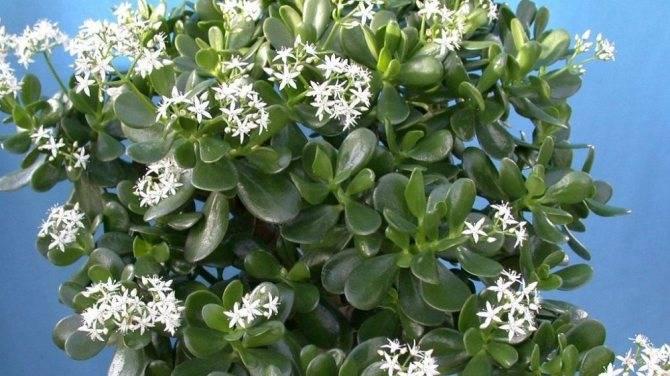 Множество видов денежного дерева - узнайте всё о своем комнатном растении!