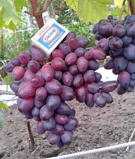 Виноград августин: описание сорта, урожайность, отзывы, фото