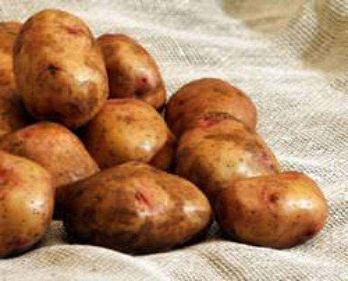 Картофель киевский свитанок. свитанок киевский: характеристика сорта картофеля   зелёный сад