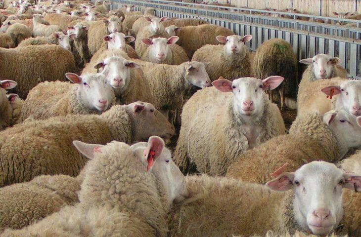 Овцеводство как бизнес для начинающего фермера, породы и сбыт