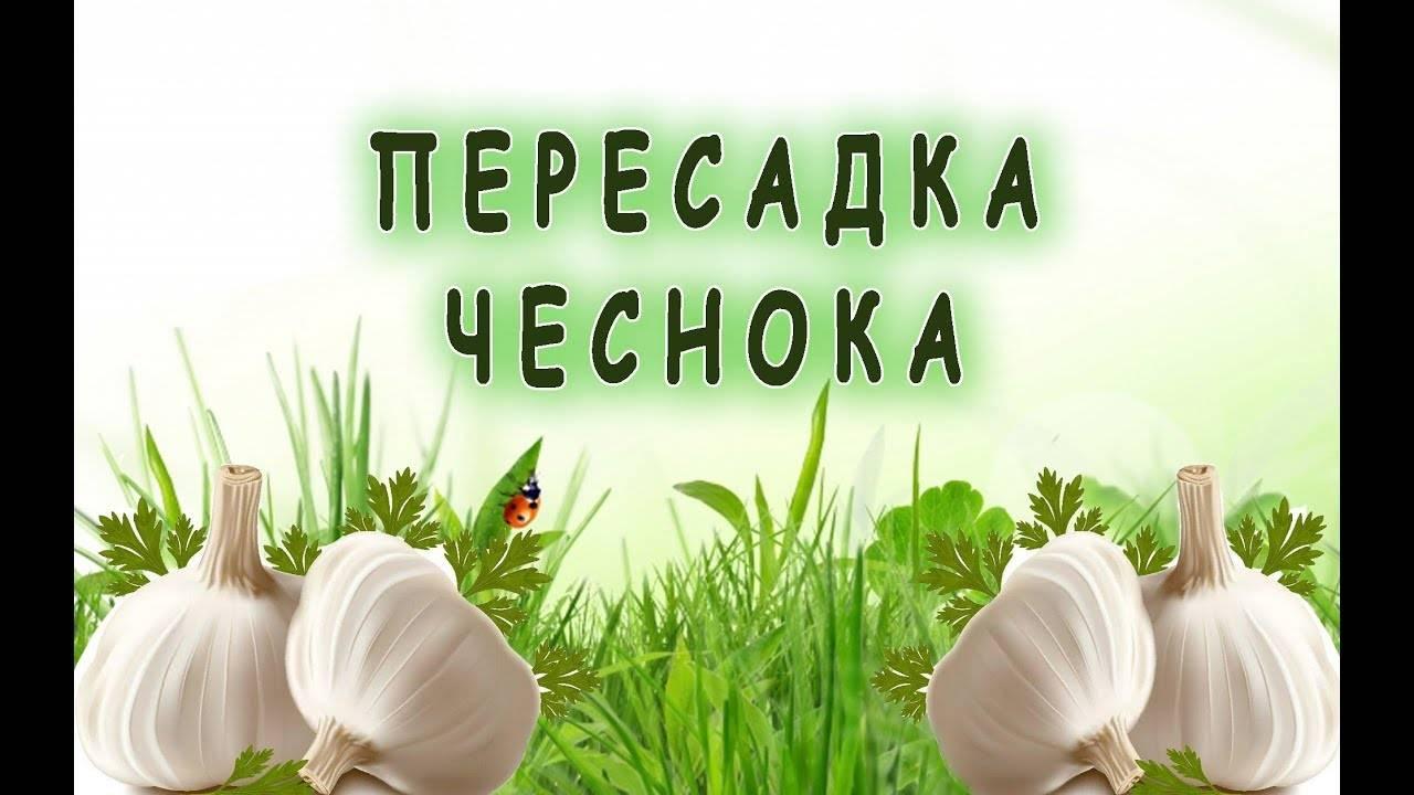 Как ухаживать за озимым чесноком с весны и до уборки