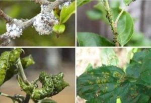 Нитрофен для опрыскивания сада весной – залог высокого урожая