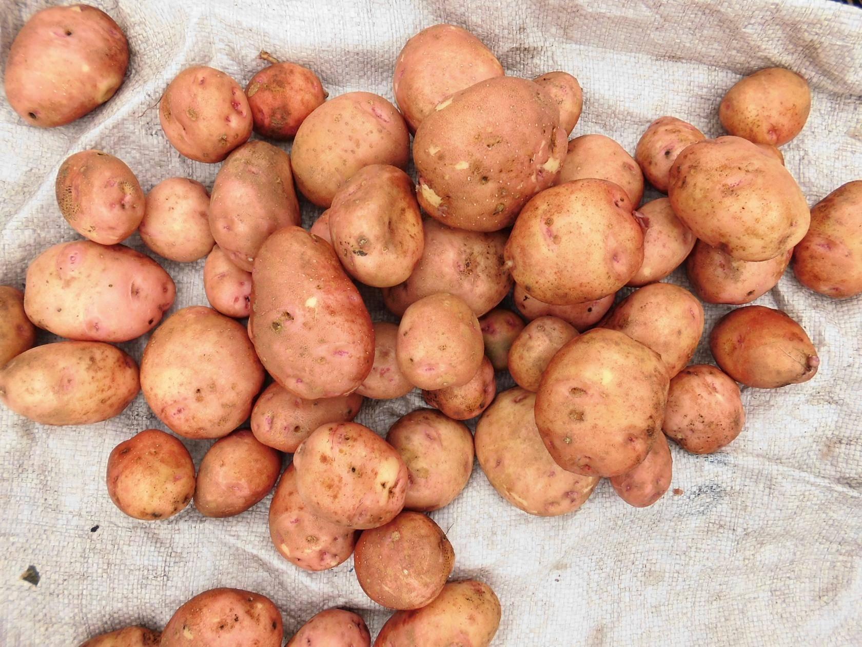 Описание картофеля Свитанок Киевский