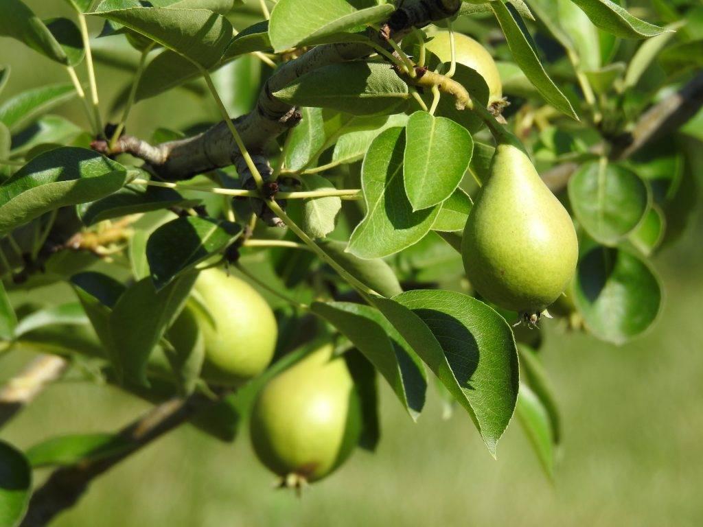 Наиболее популярные сорта колоновидной груши и особенности ухода за деревьями