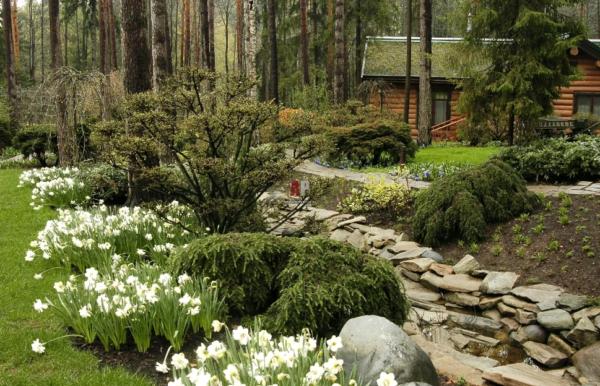 Почему не цветут нарциссы весной в открытом грунте и что делать? | садоёж