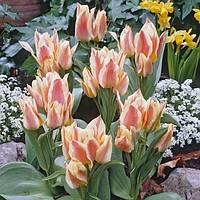 Виды и сорта тюльпанов  - более 40 сортов с фото и описанием