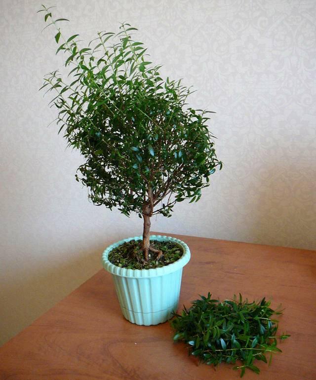 Мирт в домашних условиях: выращивание и уход за миртовым деревом