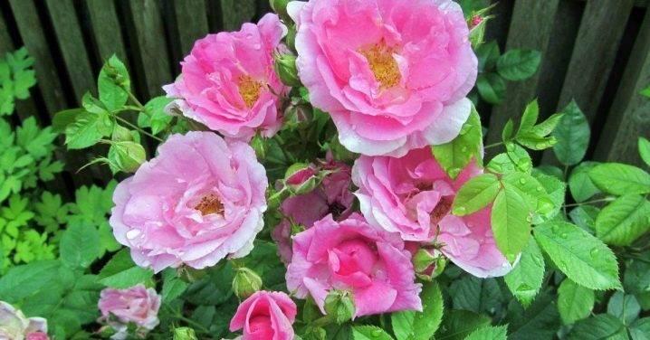 Кустовые розы: фото, посадка и уход за кустовыми розами