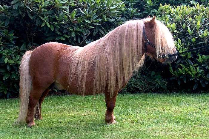 Обзор лошади подвида пони