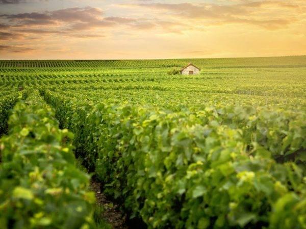 Мировые виноградники и виноделие