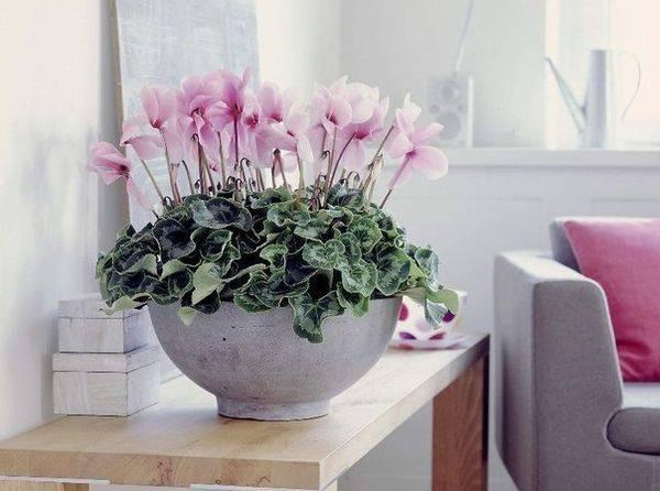 Цикламен – размножение листьями и семенами в домашних условиях