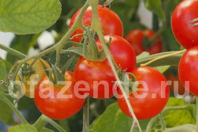 Что делать, если томаты жируют в теплице?