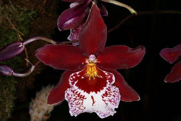 Орхидея камбрия: виды, уход в домашних условиях, пересадка, фото