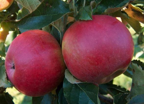 Сорт яблони айдаред: описание, характеристика, достоинства