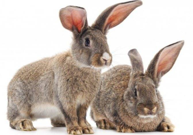 Как лечить миксоматоз у кроликов: описание заболевания, лечение в домашних условиях народными средствами