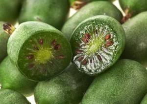 Актинидия дальневосточная: как вырастить лиану на даче
