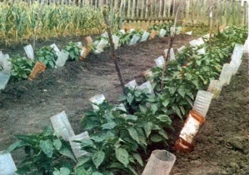 Полив помидор в теплице: как часто, нормы, сроки