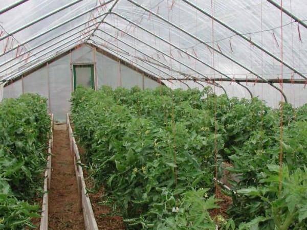 Нет завязи на помидорах: почему это происходит в теплице и что делать