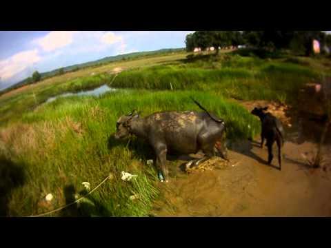 Азиатский буйвол — википедия. что такое азиатский буйвол