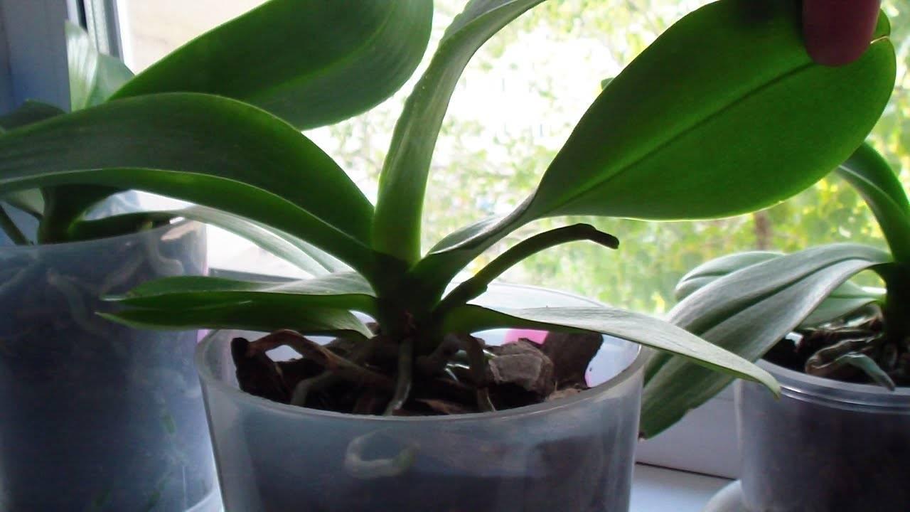 Стрелка орхидеи: как выпускает побег, фото, как он выглядит и как отличить от корня, также как ухаживать, если растение дало цветонос и что делать, если он сломался? selo.guru — интернет портал о сельском хозяйстве