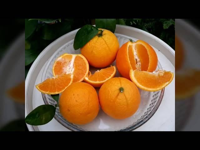 Популярные сорта апельсинов