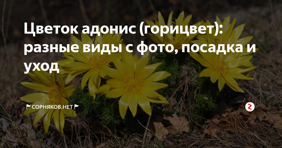 ᐉ адонис: выращивание из семян, фото, посадка и уход в открытом грунте - roza-zanoza.ru