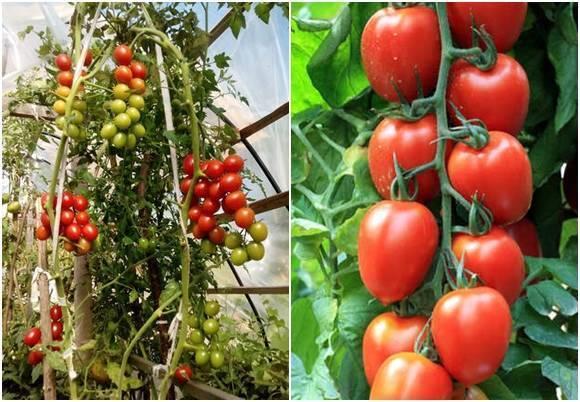 Томат черри блосэм: отзывы, фото, урожайность, описание и характеристика   tomatland.ru