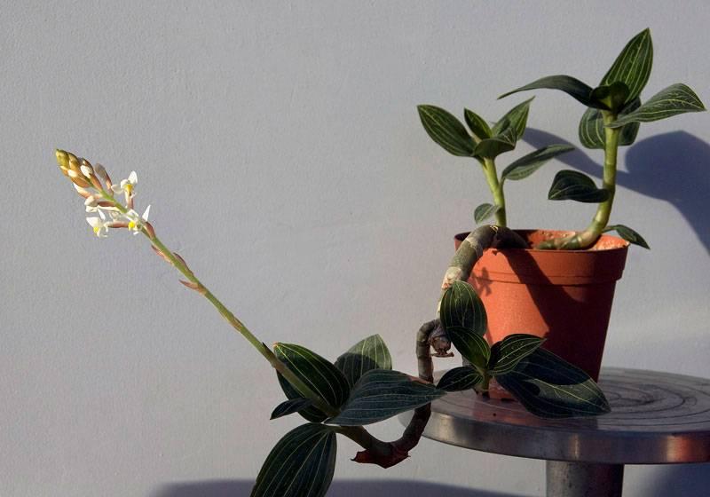 Орхидея лудизия: уход в домашних условиях, пересадка, размножение