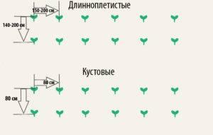 Как вырастить кабачки в открытом грунте: посадка и уход