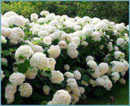 Как правильно посадить гортензию в открытый грунт весной?